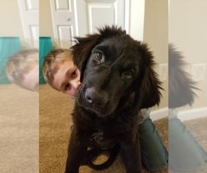 Newfoundland Puppy for sale in EDWARDSBURG, MI, USA