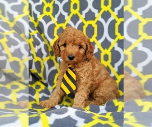 Poodle (Miniature) Puppy for sale in NEW PROVIDENCE, PA, USA