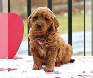 Goldendoodle (Miniature) Puppy for sale in NEWMANSTOWN, PA, USA