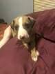 Italian Greyhound Puppy For Sale in ALTON, IL, USA