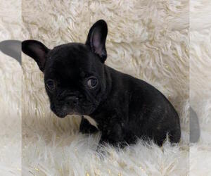 French Bulldog Dog for Adoption in CHARLESTON, South Carolina USA
