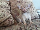 Chihuahua Puppy For Sale in PEWAUKEE, WI, USA