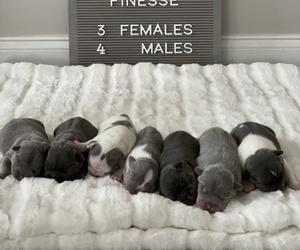 French Bulldog Puppy for sale in BROOKSVILLE, FL, USA