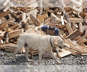 Father of the Labrador Retriever puppies born on 04/12/2021