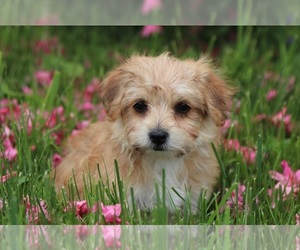 Morkie Dog for Adoption in MOUNT VERNON, Ohio USA