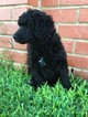 Poodle (Standard) Puppy For Sale in WICHITA FALLS, TX, USA