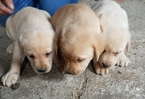 Labrador Retriever Puppy For Sale in ARTHUR, IL, USA