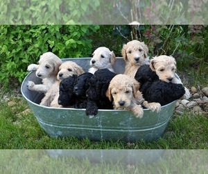 Goldendoodle Puppy for sale in FREDERICK, CO, USA