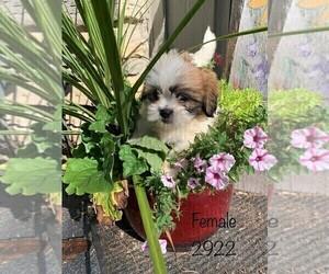Zuchon Puppy for sale in CLARE, IL, USA