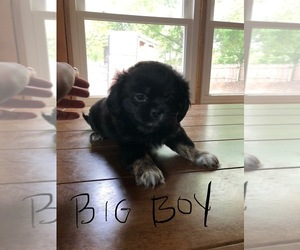 Peke-A-Poo Puppy for Sale in BLUE SPRINGS, Missouri USA