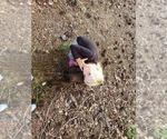Small #8 Goldendoodle-Labrador Retriever Mix