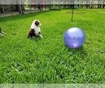 Small Photo #6 Australian Shepherd Puppy For Sale in CLARKSVILLE, TX, USA