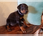 Small #15 Doberman Pinscher