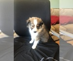 Puppy 4 Shetland Sheepdog
