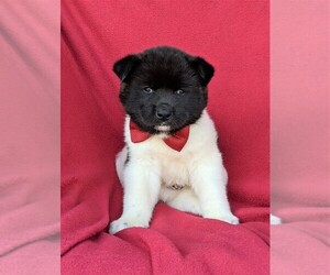 Akita Puppy for sale in AIRVILLE, PA, USA