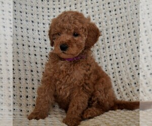 Labradoodle-Poodle (Miniature) Mix Dog for Adoption in PARADISE, Pennsylvania USA