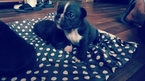 French Bulldog Puppy For Sale in NEW LISBON, NJ,