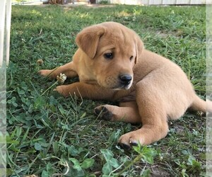 Labrador Retriever Puppy for Sale in PARIS, Missouri USA