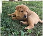 Labrador Retriever Puppy For Sale in PARIS, MO, USA