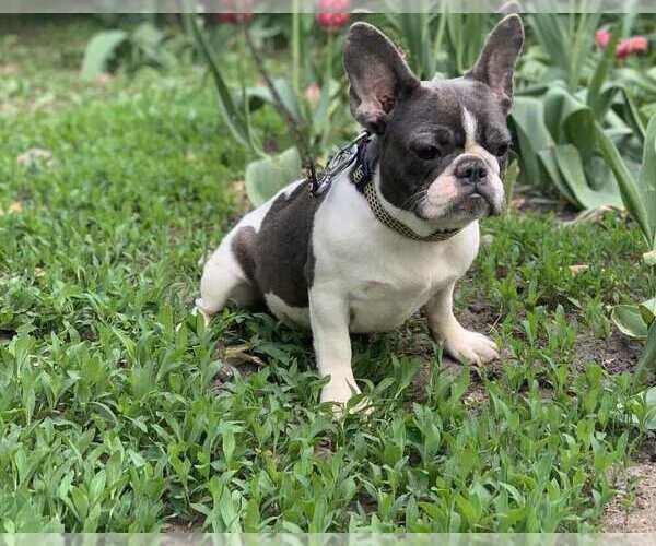 Medium Photo #2 French Bulldog Puppy For Sale in ADRIAN, MI, USA
