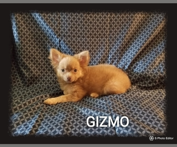 Medium Photo #3 Chihuahua Puppy For Sale in MANSFIELD, TX, USA