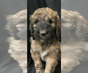 Saint Berdoodle Puppy for Sale in WASHINGTON, Iowa USA