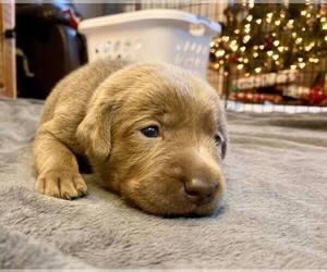 Labrador Retriever Puppy for Sale in CASSATT, South Carolina USA