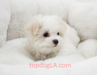 Maltese Puppy For Sale in LA MIRADA, CA, USA