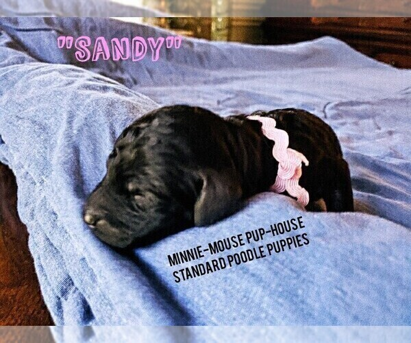 Medium Photo #9 Poodle (Standard) Puppy For Sale in DYERSBURG, TN, USA