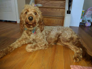 Goldendoodle (Miniature) Puppy for sale in ABINGTON, PA, USA