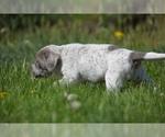 Puppy 3 Australian Cattle Dog-Treeing Walker Coonhound Mix