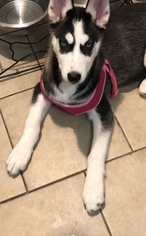 Siberian Husky Puppy for sale in CLEVELAND, OH, USA