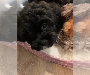 Shih-Poo Dog for Adoption in ROCKLEDGE, Florida USA