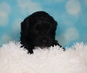 Australian Labradoodle Puppy for sale in CASTRO VALLEY, CA, USA