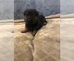 Puppy 7 German Shepherd Dog