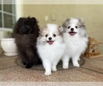 Small #14 Pomeranian