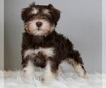 Puppy 13 Schnauzer (Miniature)