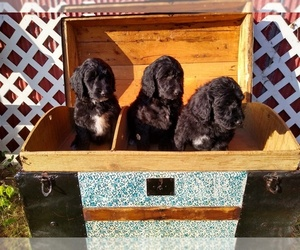 Goldendoodle Puppy for Sale in VERGENNES, Illinois USA