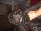 Poodle (Standard) Puppy For Sale in RANDLEMAN, NC, USA