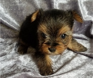 Yorkshire Terrier Puppy for sale in SARASOTA, FL, USA