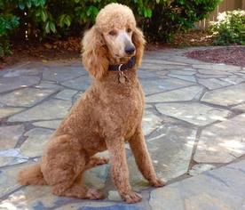 Poodle (Standard) Puppy For Sale in THOMASVILLE, GA
