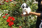 Maltipoo Puppy For Sale in THOUSAND OAKS, CA
