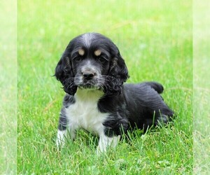 Cocker Spaniel Puppy for sale in FREDERICKSBG, OH, USA