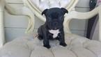 French Bulldog Puppy For Sale near 90004, Los Angeles, CA, USA
