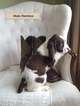 English Springer Spaniel Puppy For Sale in NEWVILLE, Pennsylvania,