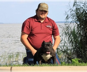 American Bully Mikelands  Puppy for Sale in HAINES CREEK, Florida USA