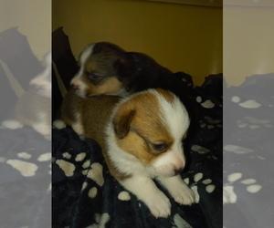 Pembroke Welsh Corgi Puppy for sale in CIMARRON, NM, USA
