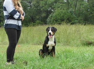 Mother of the Greater Swiss Mountain Dog puppies born on 08/31/2018