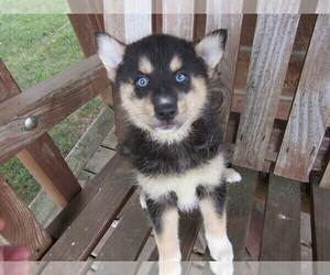 Pomsky Puppy for sale in TRAVERSE CITY, MI, USA