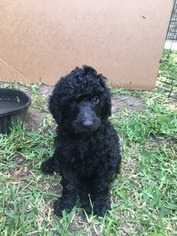 Poodle (Standard) Puppy For Sale in ALEDO, TX, USA